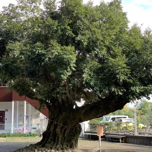 スダジイの大木
