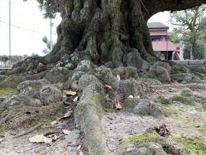 スダジイの大木の根
